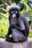 暗淡的叶子猴子, Trachypithecus obscurus, 免版税库存图片