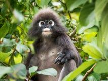 暗淡的叶子猴子画象 免版税库存照片