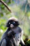 暗淡的叶子猴子 库存图片