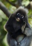 暗淡的叶子猴子(Trachypithecus obscurus) 免版税库存照片