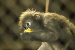 暗淡的叶猴在动物园里 图库摄影