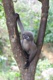 暗淡的叶猴;戴了眼镜叶猴;或者Trachypithecus obscurus猴子坐树 库存图片