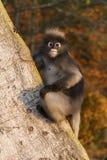 暗淡的叶猴或Trachypithecus obscurus 免版税库存图片