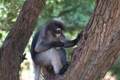 暗淡的叶猴 免版税图库摄影