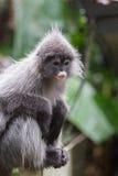 暗淡的叶猴 免版税库存图片