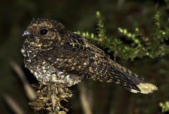 暗淡的夜鹰1 免版税库存图片