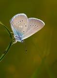 暗淡的大蓝色(nausithous的Maculinea)蝴蝶 库存照片