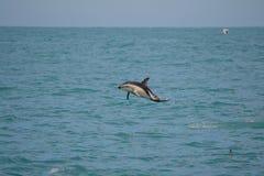 暗淡的海豚在Kaikoura,新西兰 库存照片