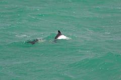 暗淡的海豚 免版税库存图片