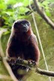 暗淡的猴子伶猴 免版税库存照片