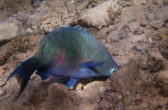 暗淡的鹦嘴鱼是underwate 库存图片