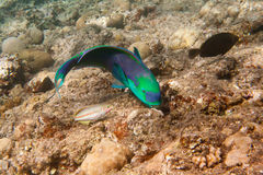 暗淡的鹦嘴鱼是水下的 库存图片