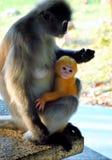 暗淡的LangurSpectacled叶猴 免版税图库摄影