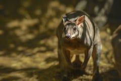 暗淡的pademelon小型沙袋鼠brunii 免版税库存图片