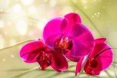 黑暗的兰花粉红色 免版税库存照片