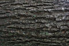 黑暗的吠声树纹理 免版税库存图片