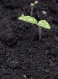 黑暗的地球的小植物 库存图片