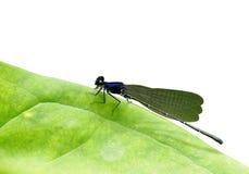 黑暗的小蜻蜓 免版税库存图片