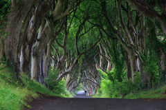 黑暗的树篱,北爱尔兰 库存图片