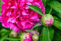 黑暗的桃红色牡丹开花、芽和跳跃的蜘蛛 免版税库存图片