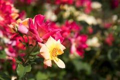 黑暗的桃红色玫瑰丛 免版税库存图片