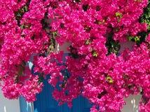 黑暗的桃红色Bouganvillea 免版税库存照片