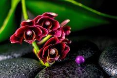 黑暗的樱桃花兰花兰花植物,基础的禅宗的温泉概念 免版税库存图片