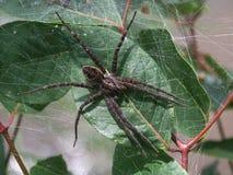 黑暗的渔蜘蛛(Dolomedes tenebrosus) 库存照片