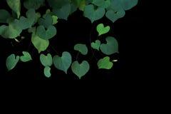 阴暗的牵牛花番薯属obsc心形的绿色叶子  图库摄影