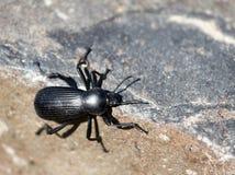 黑暗的甲虫在东华盛顿 免版税库存图片