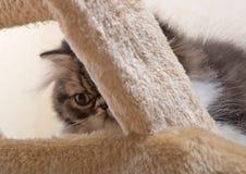 黑暗的着色波斯小猫  图库摄影