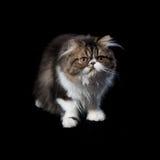 黑暗的着色波斯小猫  免版税图库摄影