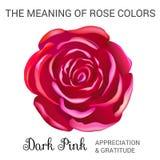 黑暗的粉红色上升了 库存图片