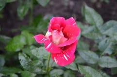 黑暗的粉红色上升了 库存照片