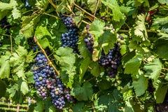 黑暗的葡萄在葡萄园里 图库摄影