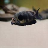 黑暗的镶边热带鱼 葡萄酒纸张 库存照片