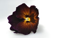 黑暗的紫罗兰色中提琴 免版税库存图片