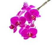 黑暗的紫罗兰色兰花开花的分支与白色bandlet的 免版税库存图片