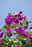 黑暗的紫罗兰色开花的冬葵 免版税库存照片