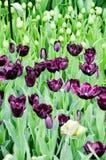 黑暗的紫罗兰色郁金香,绿色叶子在Keukenhof 免版税库存图片