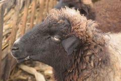 黑暗的绵羊头从旁边观点 免版税库存图片
