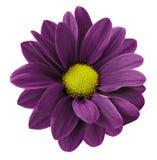 黑暗的紫色大丁草花 白色与裁减路线的被隔绝的背景 特写镜头 没有影子 对设计 库存照片