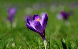 黑暗的紫色番红花 免版税库存图片