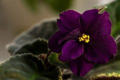 黑暗的紫色花紫罗兰 库存图片