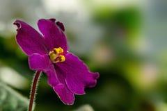 黑暗的紫色花紫罗兰 库存照片