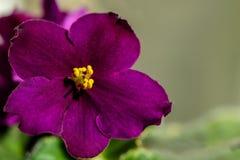 黑暗的紫色花紫罗兰 免版税图库摄影
