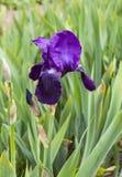 黑暗的紫色虹膜在庭院里 免版税图库摄影