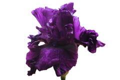 黑暗的紫色豪华的花虹膜,在绿色茎,白色隔绝了背景 库存图片