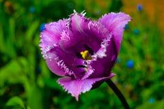 黑暗的紫色郁金香花 库存照片