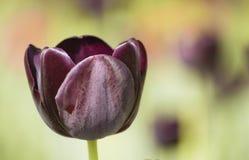 黑暗的紫色郁金香头 库存图片